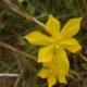 Moraea lewisiae