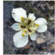 Moraea lurida white