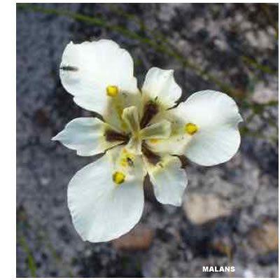 Moraea lurida white