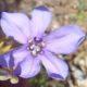 Moraea polyanthus