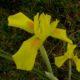 Moraea spathulata