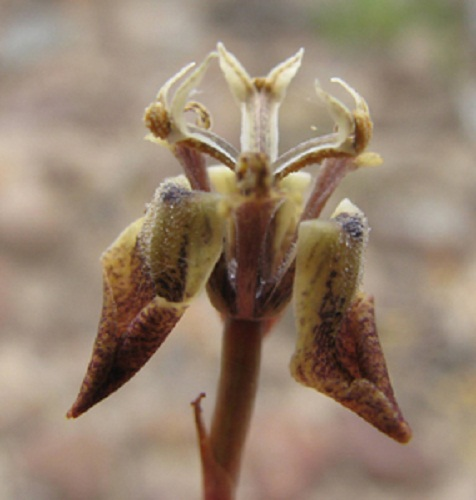 Moraea unguiculata BROWN