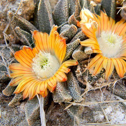 Nananthus broomii