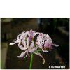 Nerine masoniorum BULB