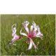 Nerine appendiculata