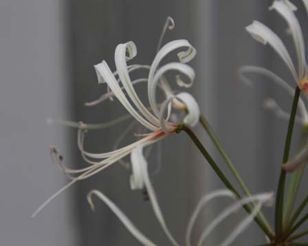 Nerine duparquetiana BULB