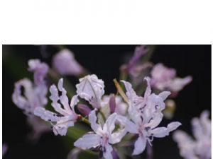 Nerine undulata BULB
