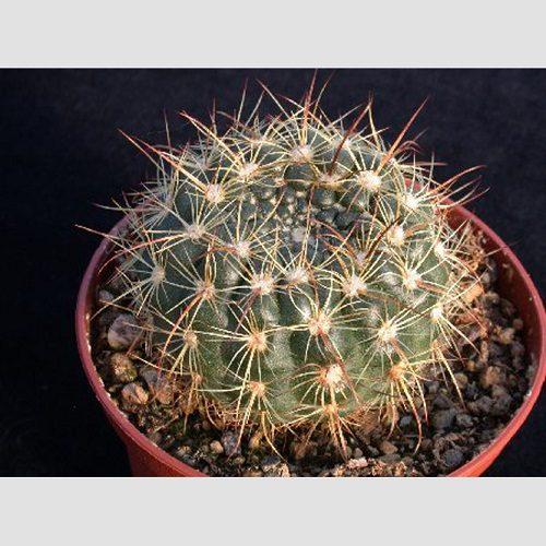Notocactus concinnus var eremiticus