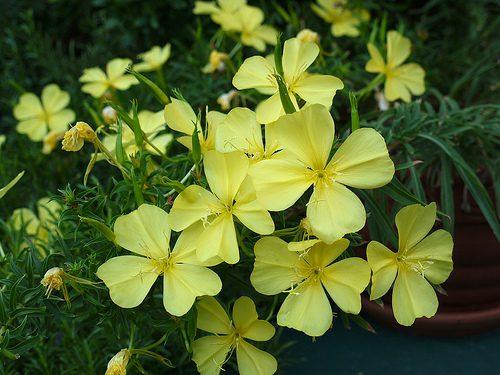Oenothera argillicola