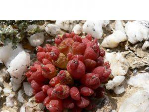 Oophytum nanum