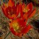 Eliokarmos thunbergianus(Ornithogalum maculatum)