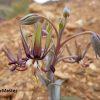 Ornithoglossum vulgare