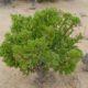 Othonna arbiscula