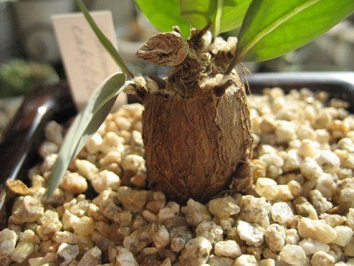 Othonna cakilifolia