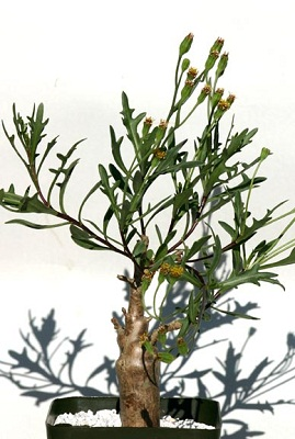 Othonna lobata (20)