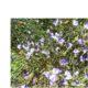 Psoralea aphylla