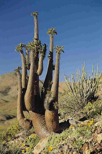 Pachypodium namaquanum (10)