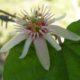 Passiflora rubra