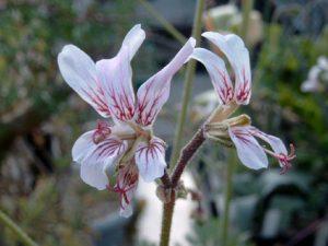 Pelargonium dolomiticum (10)