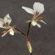 Pelargonium exhibens