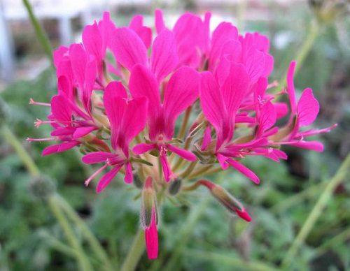 Pelargonium incrassatum dark pink (20)