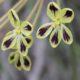 Pelargonium lobatum (10)