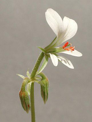 Pelargonium worcesterae (4)