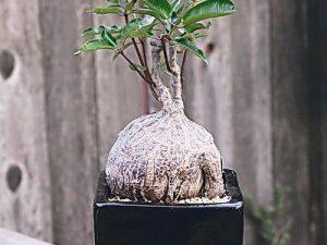 Petopentia natalensis 3cm PLANT