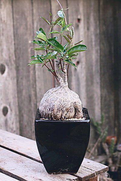 Petopentia natalensis 9cm PLANT