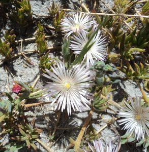 Phyllobolus auratus