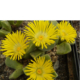 Pleiospilos compactus ssp compactus