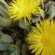 Pleiospilos compactus ssp. canus