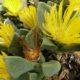 Pleiospilos compactus ssp. sororius