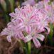 Lachenalia corymbosa(Polyxena corymbosa) (10)