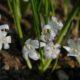 Polyxena odorata