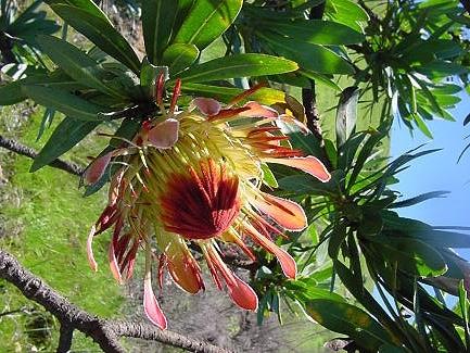 Protea roupelliae