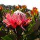 Protea rubropilosa