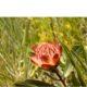Protea simplex