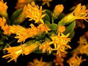 Pteronia divaricata