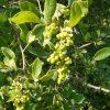 Searsia pyroides