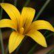 Romulea monticola