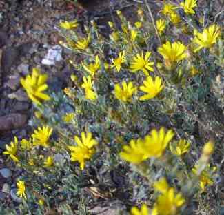 Rosenia humilis