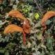 Salvia lutea