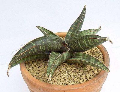 Sansevieria fischeri PLANT