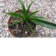 Sansevieria dooneri PLANT