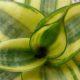 """Sansevieria """"triflash"""" PLANT"""