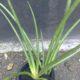 Sansevieria hyacinthoides thin leaf PLANT