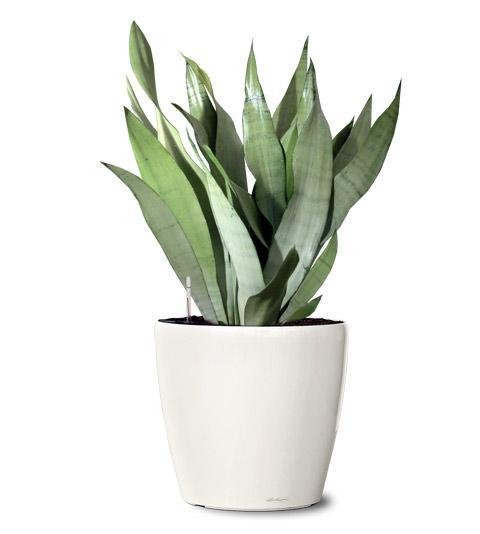 Sansevieria moonshine PLANT
