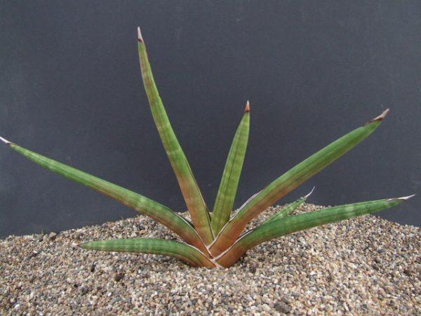 Sansevieria pearsonii PLANT