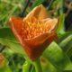 Scadoxus membranaceus BULB